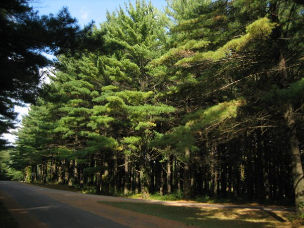 White_Pines_Forest
